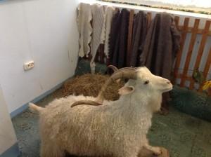 урюпинская коза